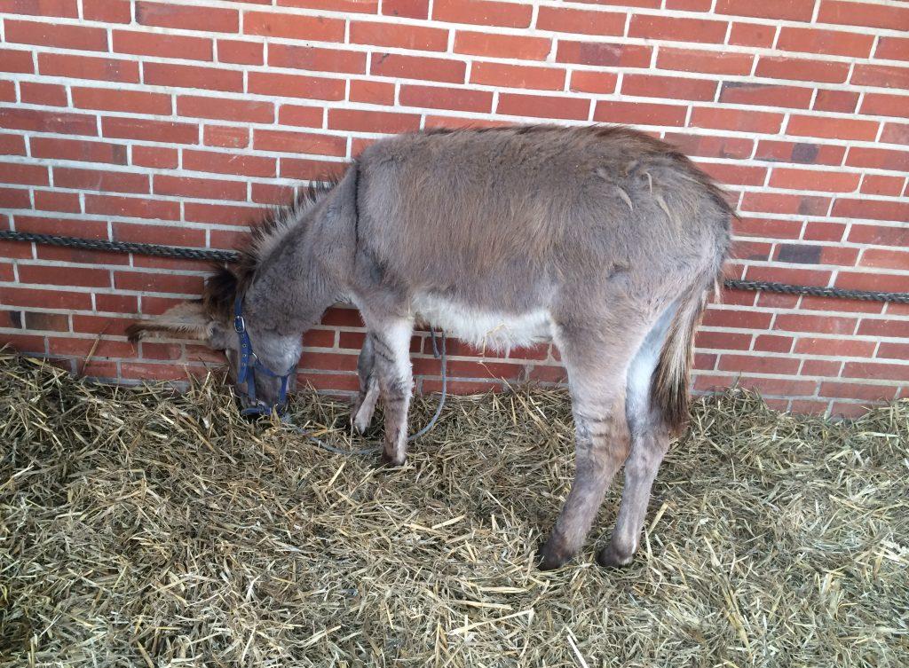 Esel auf dem Viehmarkt