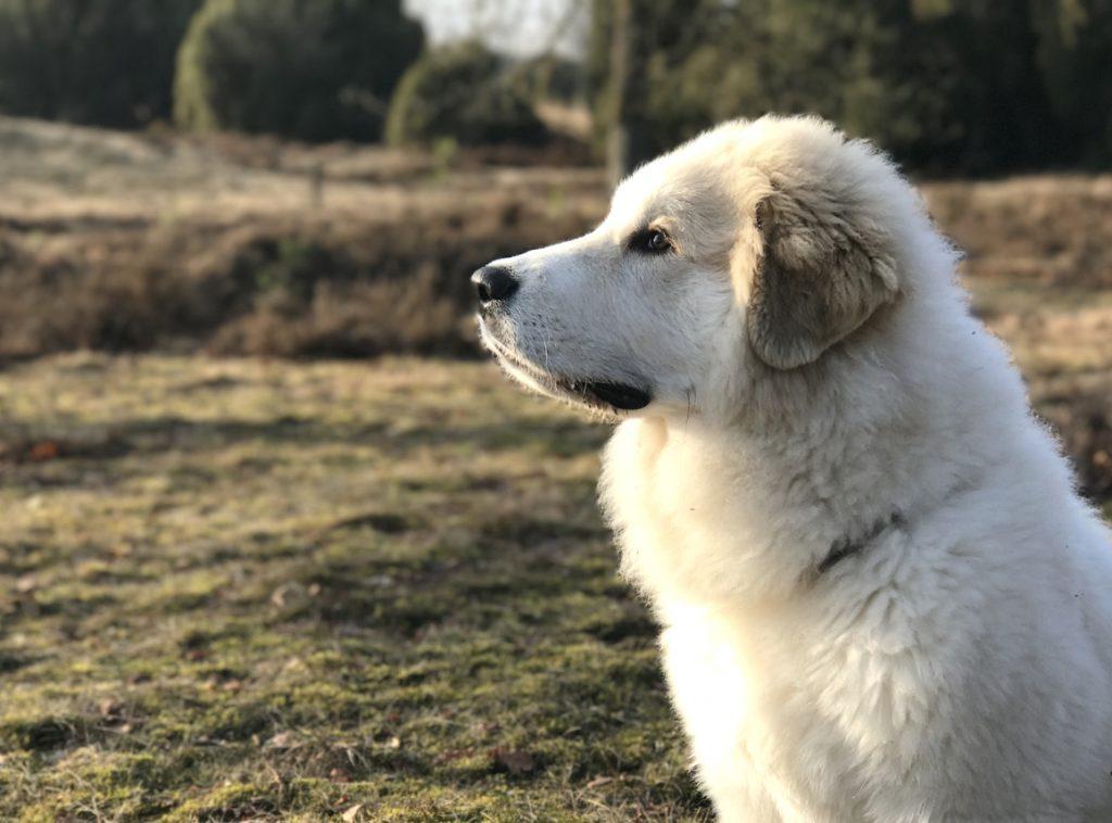 Unser Pyrenäenberghund